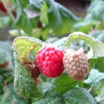 Growing Raspberries іn Containers