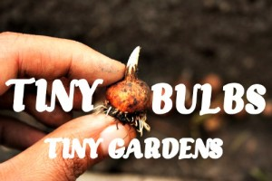 small garden ideas, miniature garden bulbs