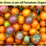 How to Grow Lots of Tomatoes Organically