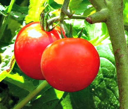 best tomatoes to grow in containers