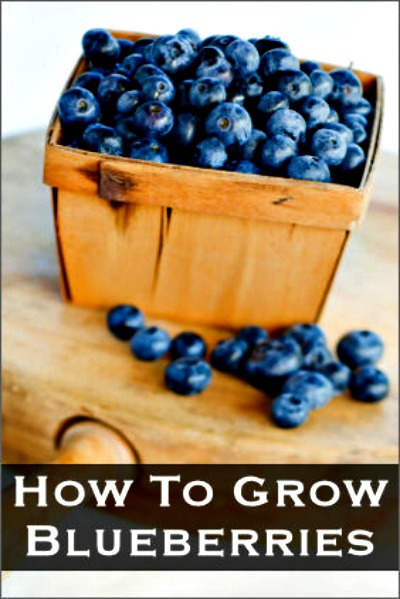 How to Grow Blueberries In A Pot