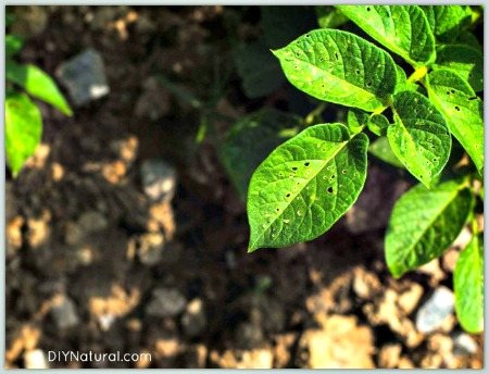 Deter Garden Pests Naturally with Homemade Hot Pepper Spray