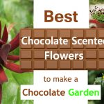 Best Chocolate Scented Flowers