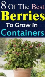 Best Berries to Grow in Containers