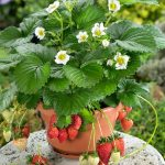 Best Fruits To Grow In Container Pots