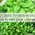 Easy Guide to Growing Basil
