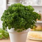 How To Grow & Care for Parsley In Containers